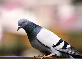 Pigeon Control in Arizona