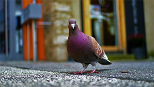 Top Rated Arizona Pigeon Control