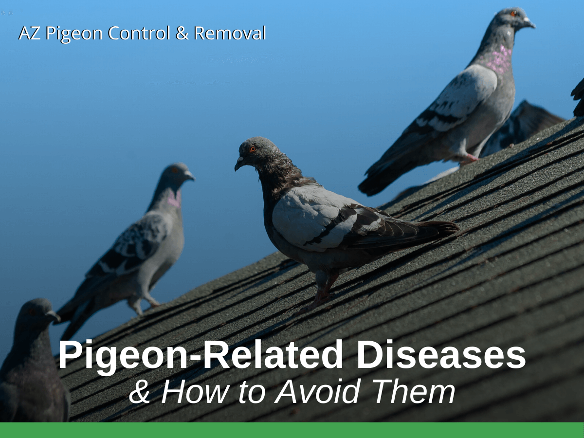 Pigeon-Related Diseases & How to Avoid Them
