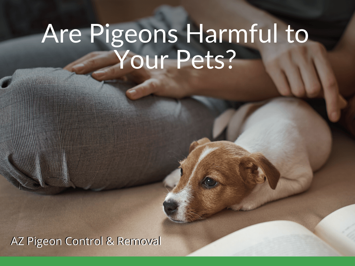 Are Pigeons Harmful to Your Pets?
