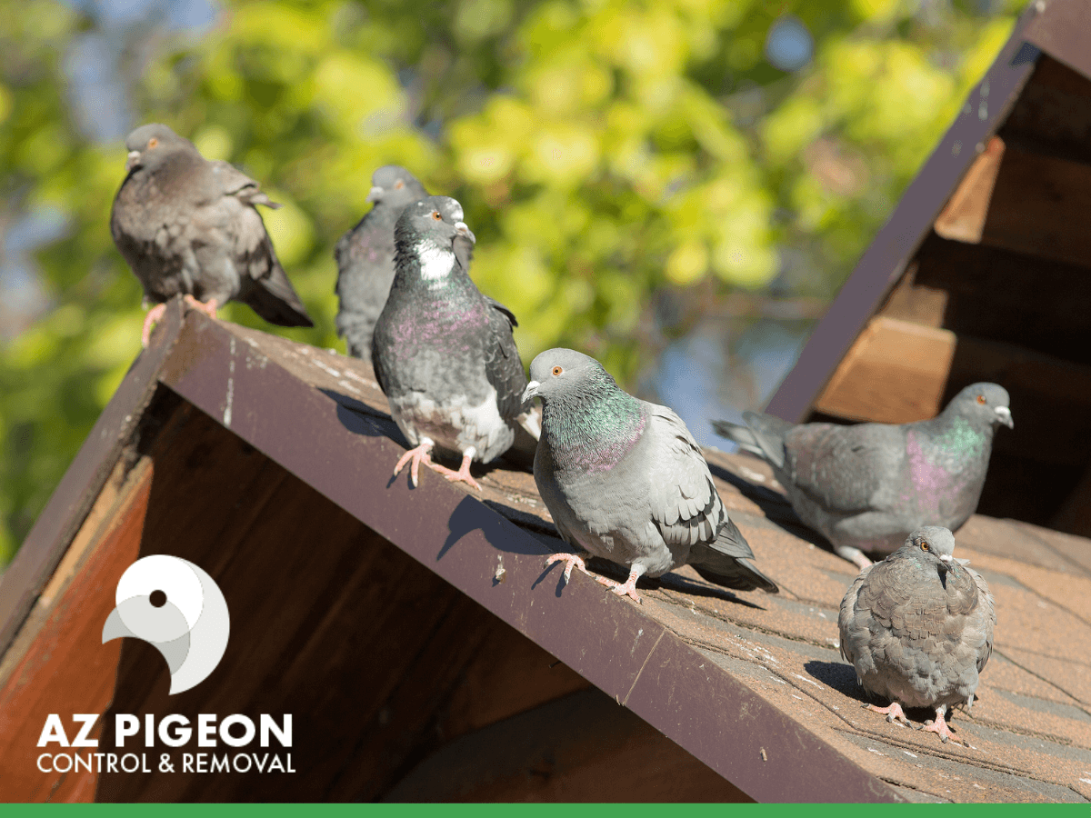 Pigeons in an Arizona roof
