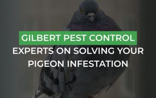 Gilbert Pest Control Experts On Solving Your Pigeon Infestation