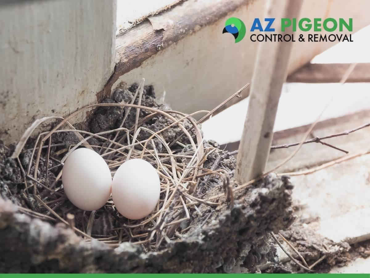Pigeon Nest In A Phoenix Home